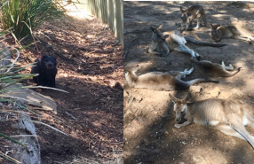 Tasmanian devil and kangaroos in an animal sanctuary
